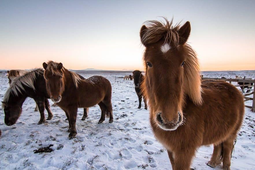 Исландский пони: описание породы и фото   мои лошадки