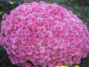 Хризантема многолетняя: посадка и уход, борьба с вредительями