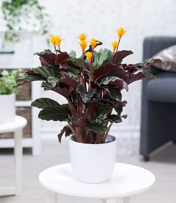 Калатея: описание с фото, уход в домашних условиях, выращивание из семян, посадка, пересадка и размножение, фото