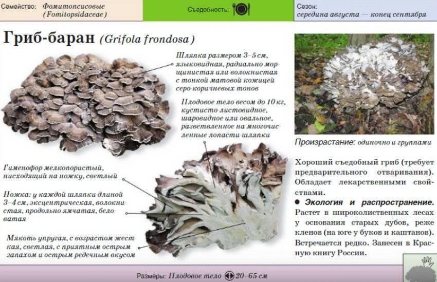 Гриб баран: описание, применение, лечебные свойства и фото