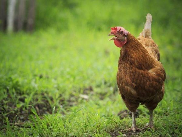 Браун ник порода кур – описание, содержание, фото и видео