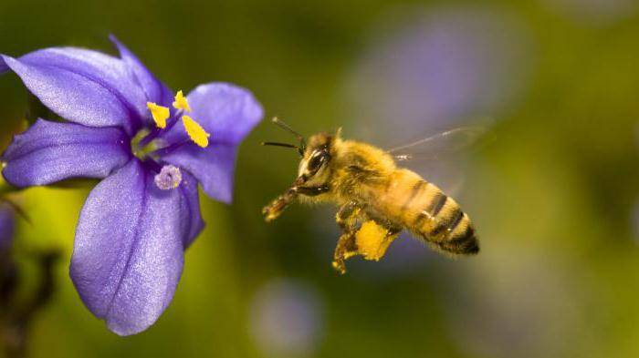 Медоносы — однолетники: ценные медоносные травы для пчел с фото и названиями