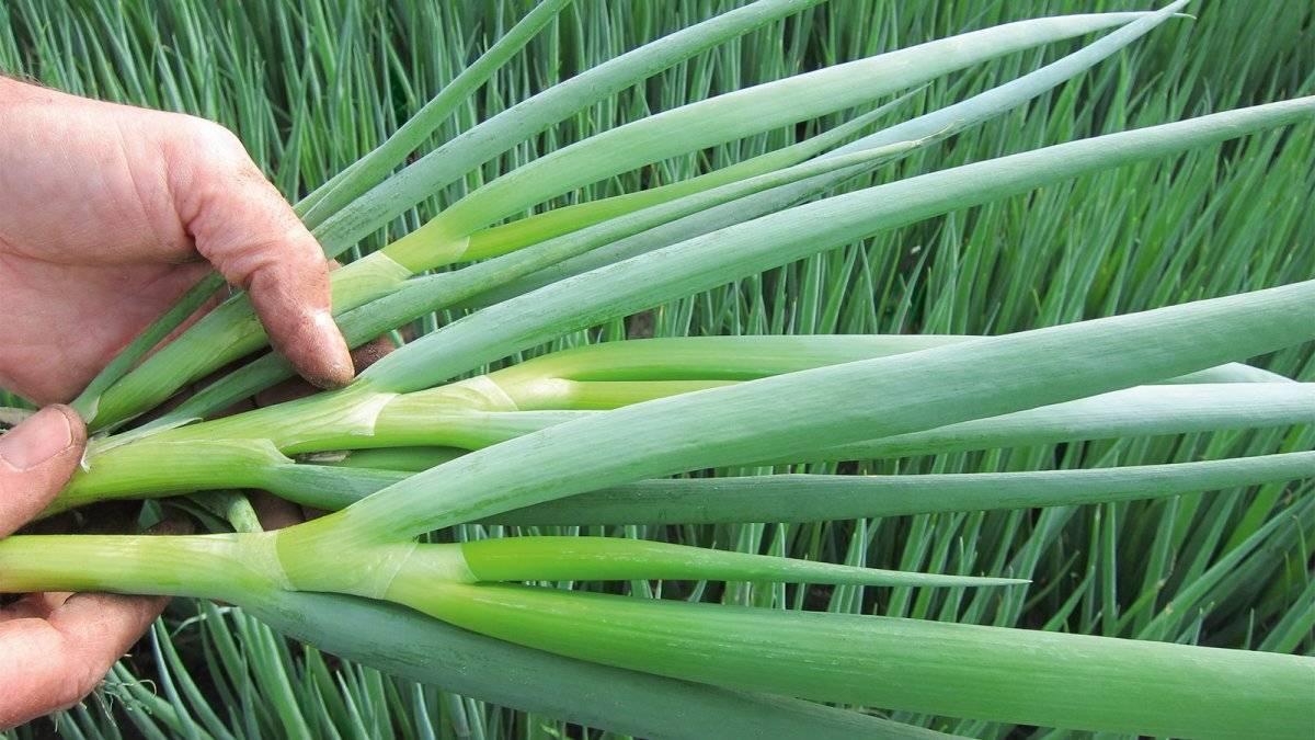 Декоративный лук (аллиум): свойства, посадка, уход и размножение