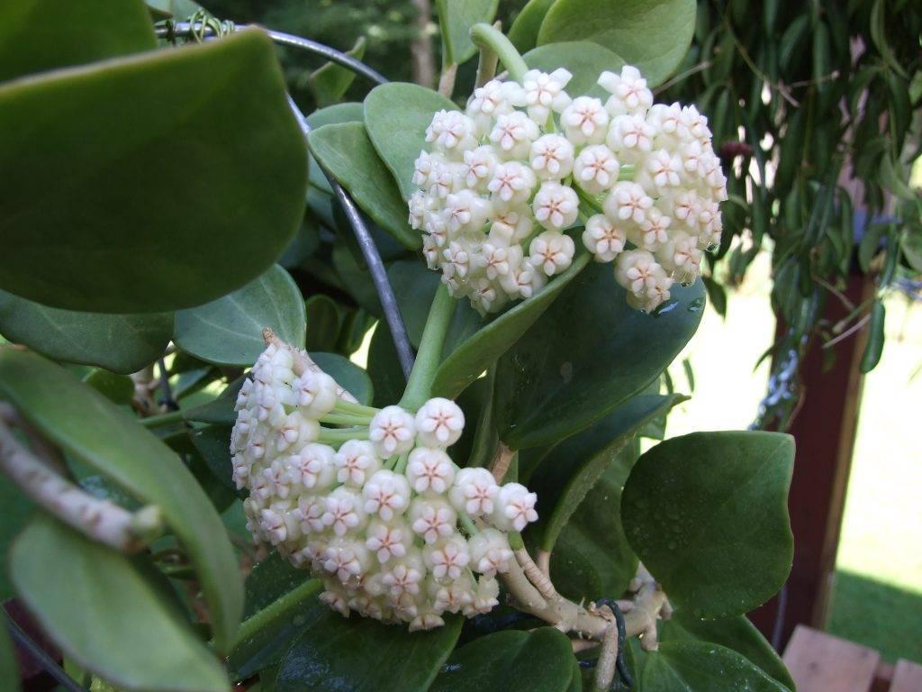 Хойя Пахиклада — тонкости выращивания