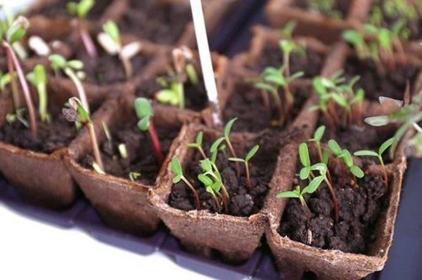 Когда можно сеять свеклу в открытый грунт. как выращивать свеклу