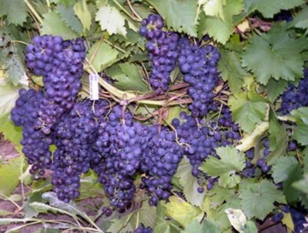 Уход за виноградом с весны до осени – полезные советы начинающим – дачные дела