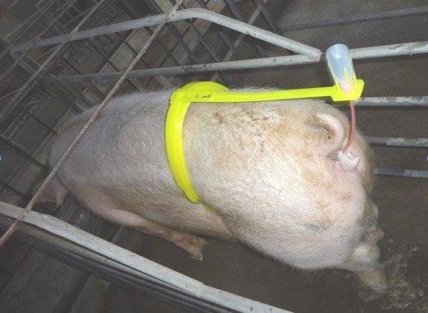 Искусственное осеменение свиней: виды искусственного оплодотворения и особенности проведения