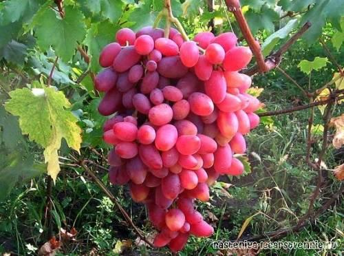 Виноград дружба: описание сорта с характеристикой и отзывами, особенности посадки и выращивания, фото