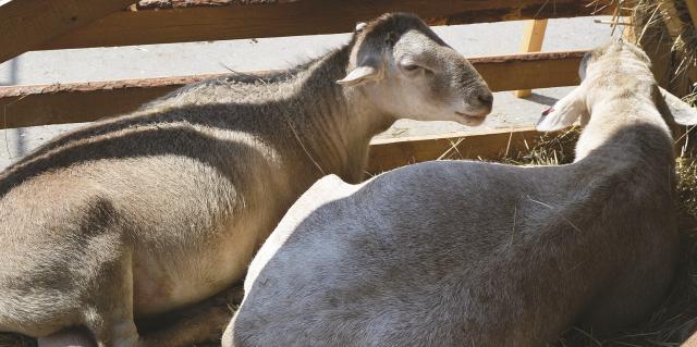 Мясные породы овец: описание породы, фото, для россии,для сибири