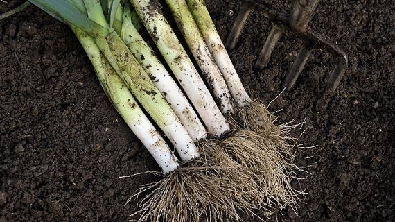 Рекомендации, как хранить лук-порей зимой