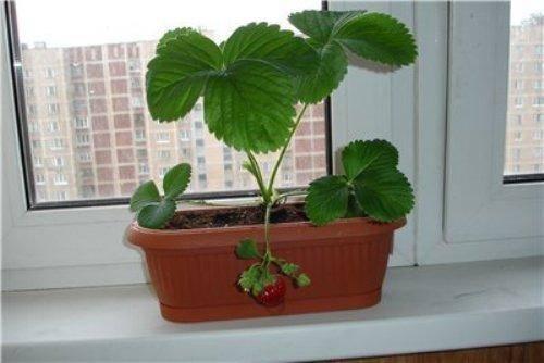 Самостоятельное выращивание клубники из семян дома