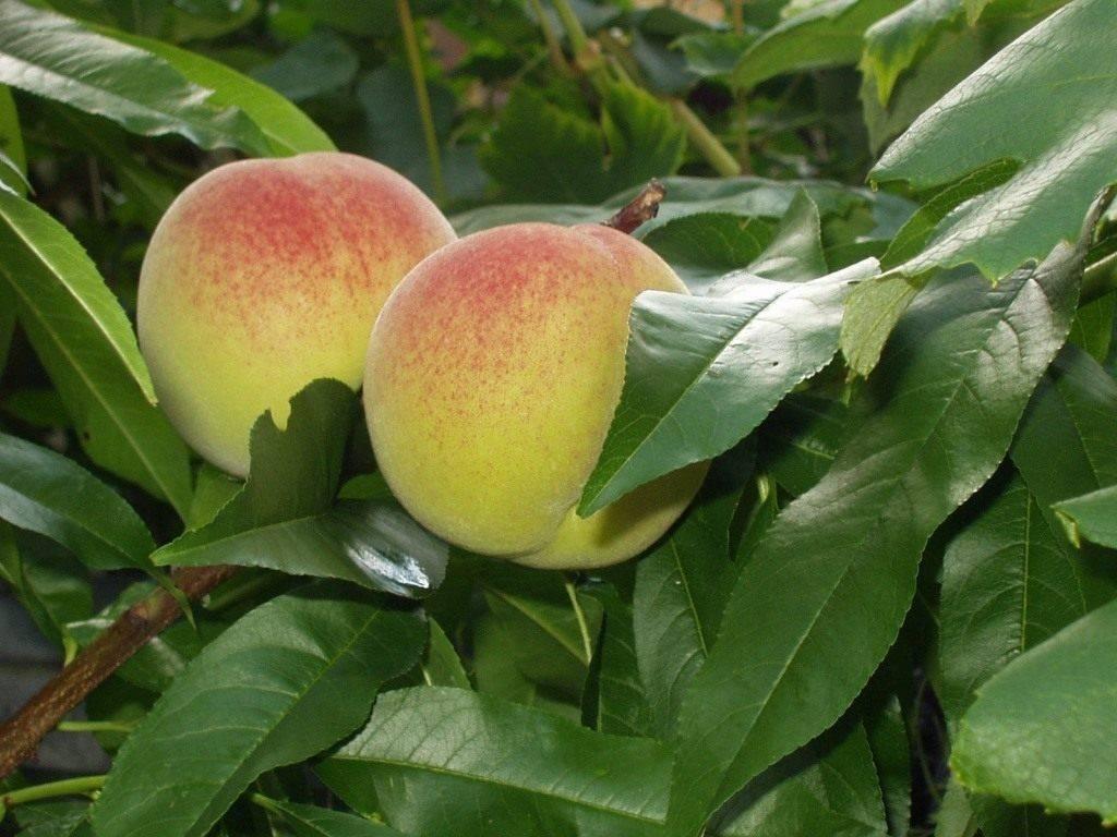 Выращивание персика из косточки в домашних условиях: особенности метода размножения