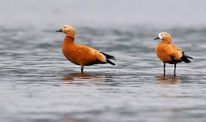 Турпан (50 фото): грустная утка, горбоносая птица, гагара