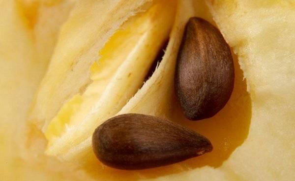 Косточки яблока: чем опасны яблочные косточки и семена