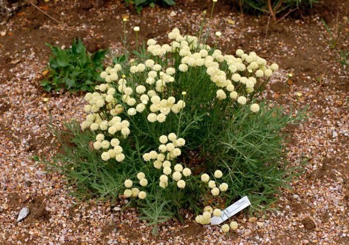 Растение сантолина: фото, сорта, выращивание, посадка и уход в открытом грунте