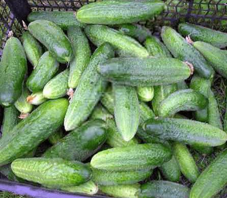 Огурец либелле f1: описание, выращивание, уход, фото