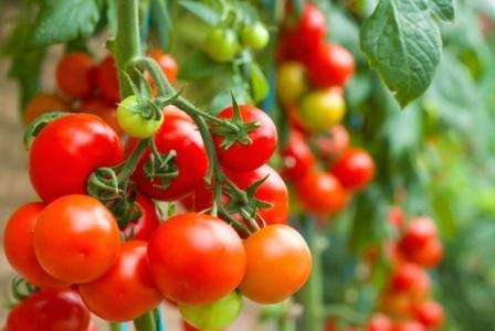 Сорта томатов для теплицы устойчивые к фитофторе, по отзывам садоводов