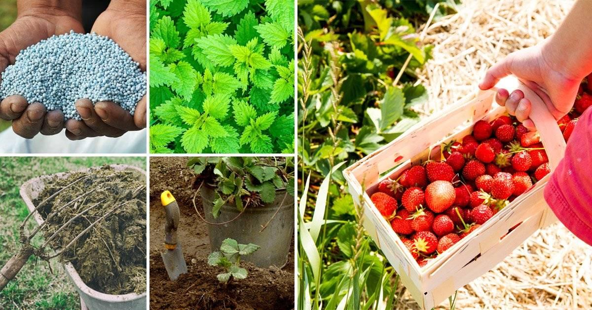 Подкормка клубники весной для большого урожая: когда и чем удобрять