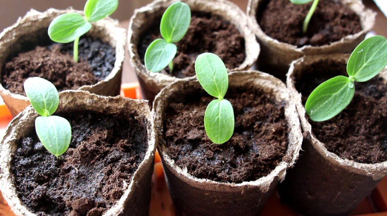 Когда сажать огурцы на рассаду в 2021 году для теплицы: выбор благоприятных дней, особенности выращивания и подходящие сорта