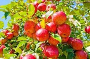 Яблоня мечта — описание сорта, фото, отзывы