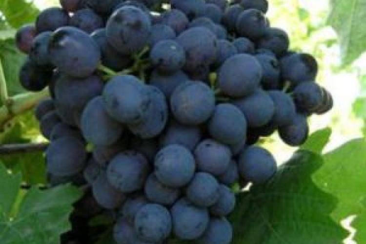 Виноград арамис: что нужно знать о нем, описание сорта, отзывы