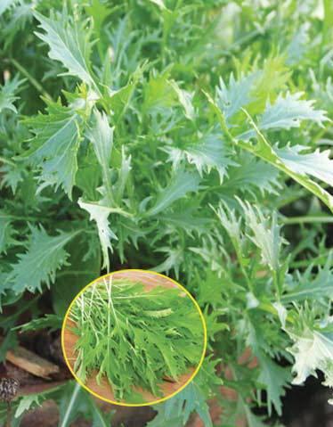 Капуста японская (мизуна): полезные свойства, популярные сорта, правила посадки и нюансы выращивания, отзывы огородников
