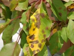 Ржавые пятна на листьях яблони, как лечить. описание возбудителя ржавчины и симптомы поражения яблони | зелёный сад