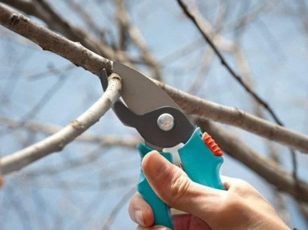 Обрезка вишни: правила обрезки и когда это лучше делать