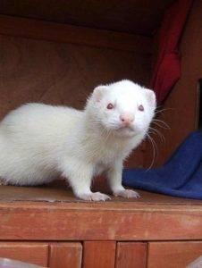 Белый домашний хорек (альбинос): описание породы