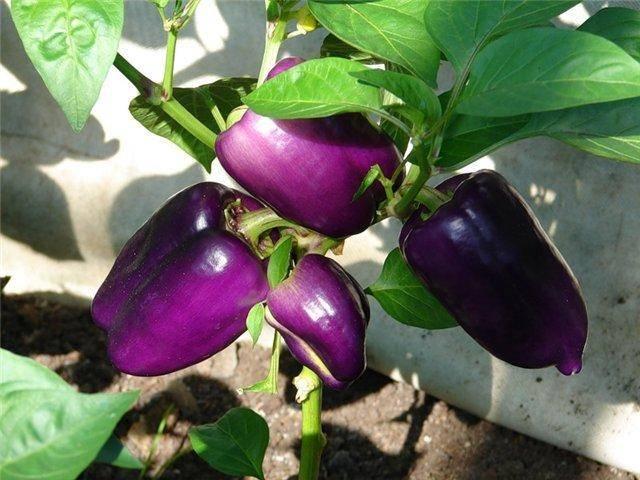 Перец «айвенго»: характеристики сорта, отзывы