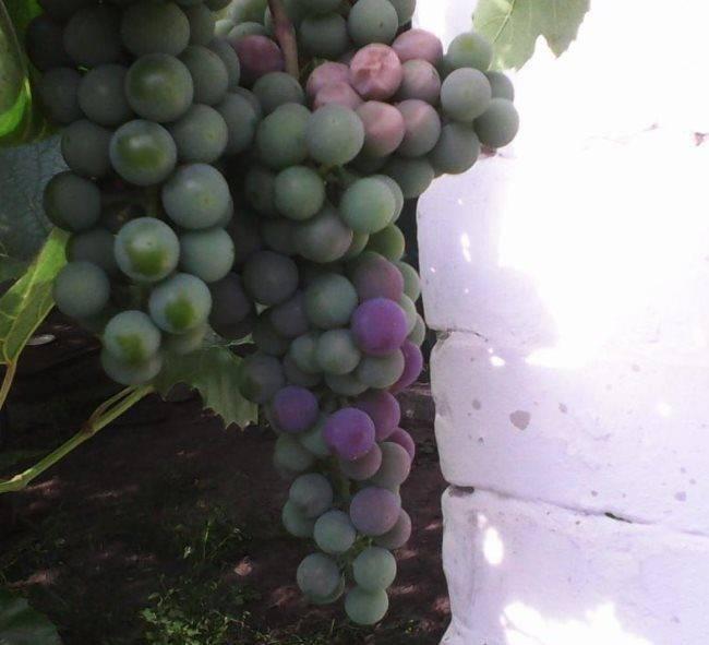 Описание и характеристики сорта винограда альфа, тонкости выращивания