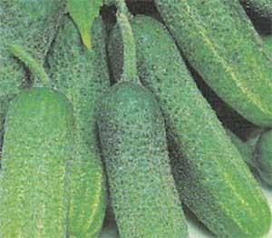 Огурец «гуннар f1»: описание гибридного сорта, фото и отзывы