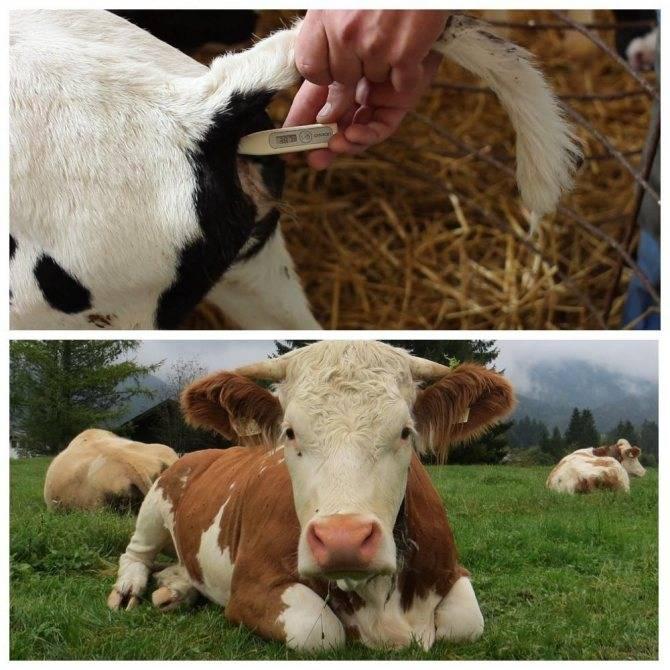 Понос у коровы: причины диареи и чем лечить в домашних условиях, опасность