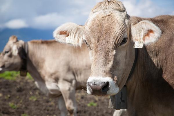 Костромская порода коров: фото и характеристики породы