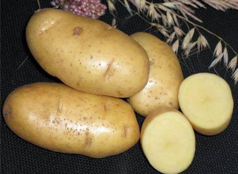 Выращивание раннего картофеля: обзор сортов и основных технологий возделывания, в том числе под агроволокном и под пленкой, а также советы по уходу русский фермер