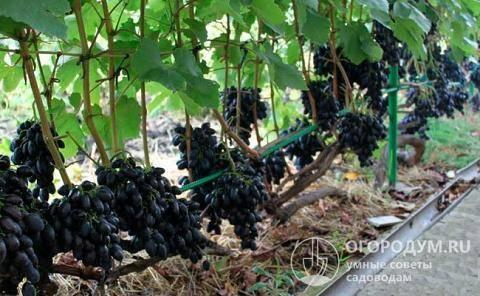 """Виноград """"кодрянка"""": описание сорта, фото, отзывы"""