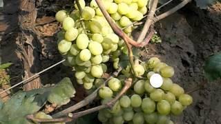 Современный сорт с душевным названием — виноград «ванюша»
