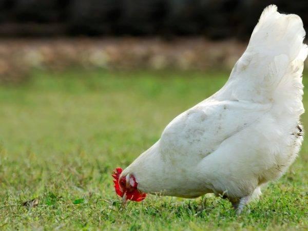 Феникс порода кур – описание, содержание, фото и видео