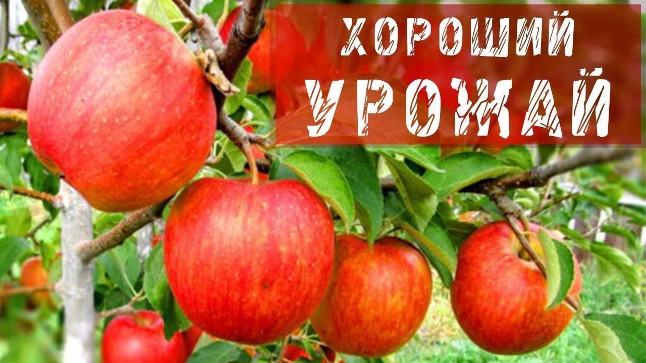 Как заставить плодоносить вашу яблоню каждый год?