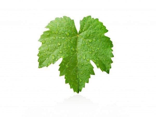 Виноградные листья — полезные свойства и вред | польза и вред