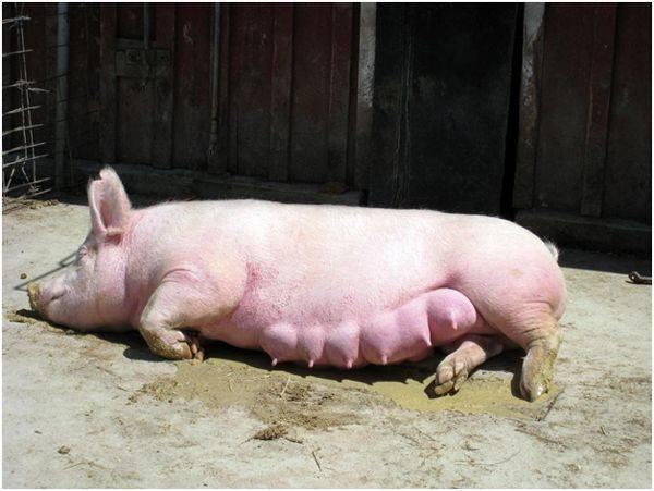 Какие сальные породы свиней распространены в россии