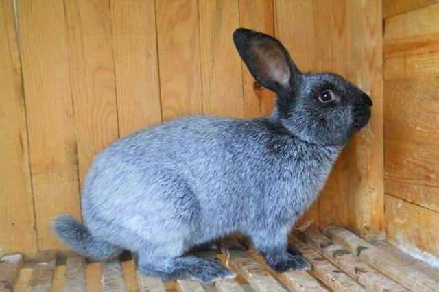 Кролики полтавское серебро особенности содержание породы