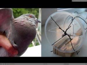 Как поймать голубя: на улице, руками, ловушкой