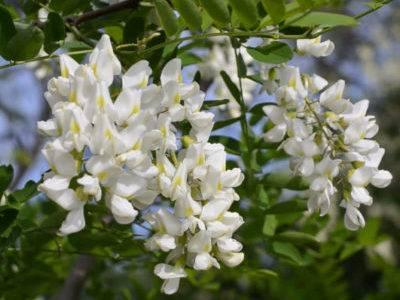 Акация: выращивание из семян и правила по уходу