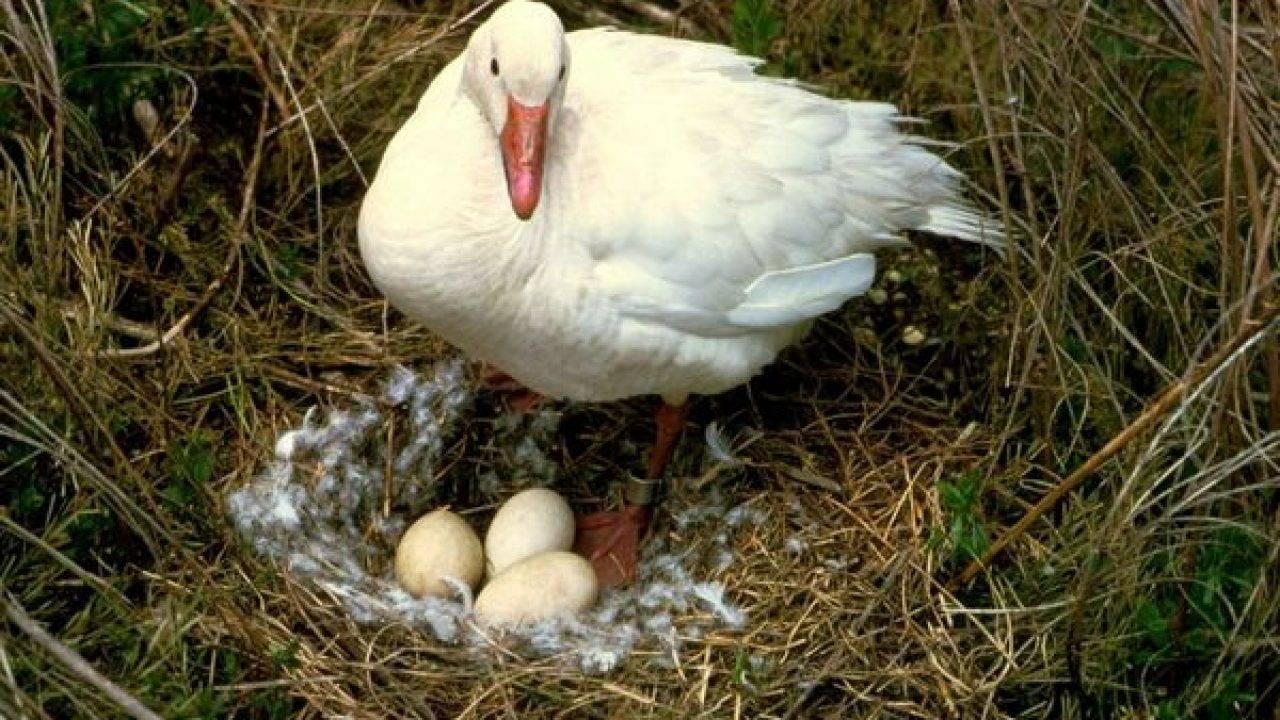 Чем кормить гусей зимой, чтобы яйца оплодотворялись: содержание, уход