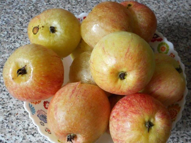 Описание сорта яблони свежесть: фото яблок, важные характеристики, урожайность с дерева