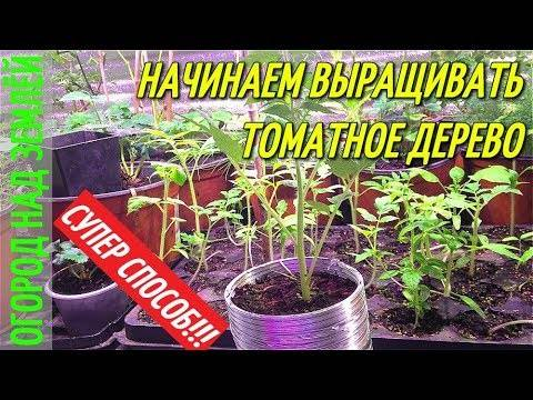 Томатное дерево: выращивание в теплице и открытом грунте