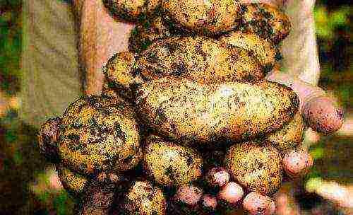 ᐉ сорта картофеля для волго-вятского региона: список - roza-zanoza.ru