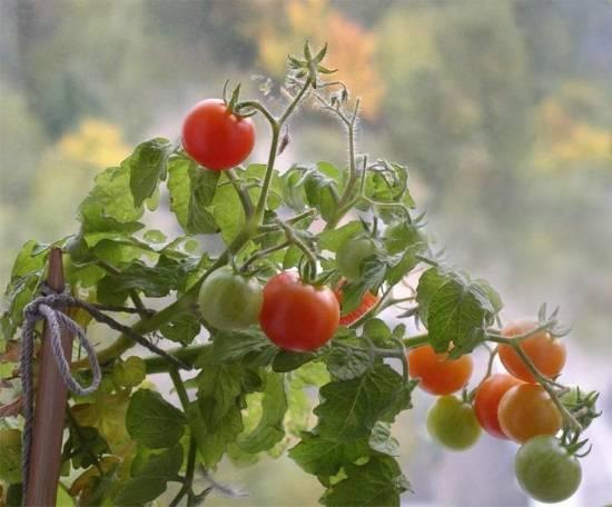 Как вырастить помидоры черри на подоконнике зимой