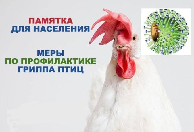 Птичий грипп - лечение и профилактика   компетентно о здоровье на ilive